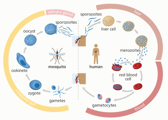 An illustration of the life cycle of the malaria parasite. Image credit: Genome Research Ltd.